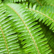 Stock Photo: Fresh young bright green fern background