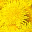 The yellow fresh dandelion as background - Stock Photo