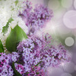 The beautiful lilac on a background — Stock Photo