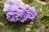 密切了美丽紫罗兰色作为背景 — 图库照片