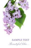 Beautiful lilac isolated on white background — Stock Photo