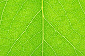 Green leaf of a lilac — Stock Photo