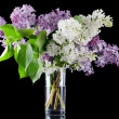 The beautiful lilac on black background — Photo