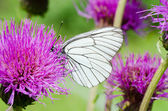 White butterfly on lilac flower — 图库照片