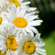 Meadow of chamomile close up - Stock Photo