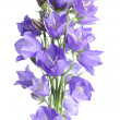 Beautiful blue flowers campanula - Stock Photo