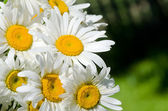 Meadow of chamomile close up — Stock Photo