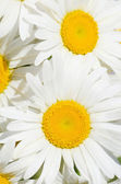 Bouquet de marguerites sauvages — Photo