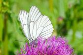 Bílý motýl na fialový květ — Stock fotografie