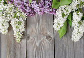 Beautiful lilac — Stock Photo