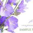 Beautiful blue flowers campanula — Stock Photo