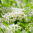 Stock Photo: Blossoming bird cherry in spring