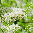 Blossoming bird cherry in the spring - Stock Photo