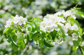 Blossoming an apple-tree in the sprin — Stock Photo