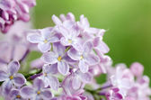 Beautiful lilac — Stock Photo