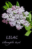 The beautiful lilac on black background — Stock Photo
