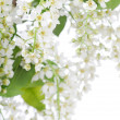 Bird cherry branch isolated - Stock Photo