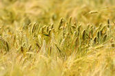 Ripe wheat in field — Stock Photo