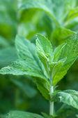 Bush of mint — Stock Photo