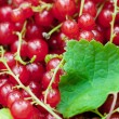 Red currant — Stock Photo #6463985