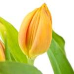 Tulip. Close up on white background — Stock Photo #5786058