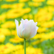 Rosa tulip — Stock Photo