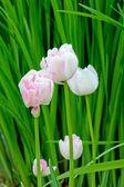 Rosa Tulips — Stock Photo