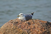 Nesting seagull — Stock Photo