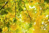 Maple in autumn — Stockfoto