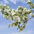 Stock Photo: Branch of apple tree with many flowers over blue sky