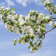 Branch of apple tree with many flowers over blue sky — Stock Photo