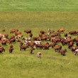 Cows on a pasture. - Stock Photo