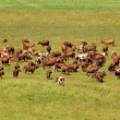 Cows on pasture. — Stock Photo #6018277