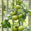 Stock Photo: Big green tomatoes growing in greenhouse