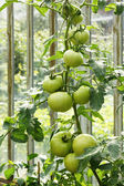 Big green tomatoes growing in a greenhouse — Stok fotoğraf