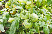 Big green tomatoes growing in a greenhouse — Stock Photo