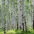 Stock Photo: Summer green birch forest