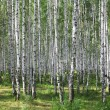 Summer green birch forest - Stock Photo