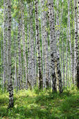 Summer green birch forest — Stock Photo
