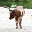 Cow near a pond — Stock Photo #6027941