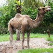 Camel in zoo — Stock Photo