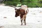 Cow near a pond — Stock Photo