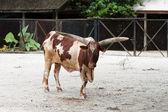 Cow in a farm — Stock Photo