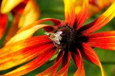 Bee on Rudbeckia flower(Coneflower). — Stock Photo