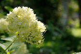 Flowers of white Hydrangea (Hortensia). — Stock Photo