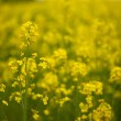 Rapeseed — Stock Photo