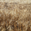 Stock Photo: Wheat field closeup