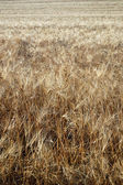Pšeničné pole closeup — Stock fotografie