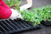 Planting geranium — Stock Photo