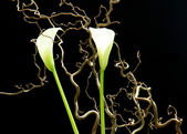 White flowers on a black background — Stock Photo